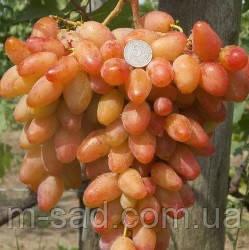 Саженцы винограда ДИКСОН(с семенами,вкус гармоничный), фото 2