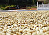 Кофе зеленый в зернах Сальвадор SHG (ОРИГИНАЛ), арабика Gardman (Гардман)
