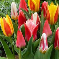 Тюльпан Greigi Микс (луковицы)10 шт