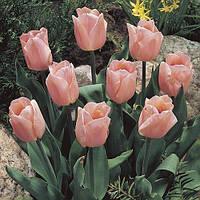 Тюльпан Apricot Beauty (луковицы)3 шт