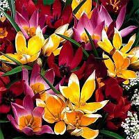 Тюльпан Ботанические Микс (луковицы) 10