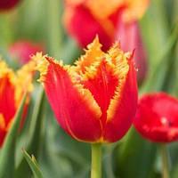 Тюльпан Aleppo 3шт