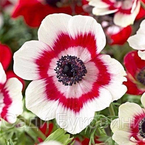 Анемона Bicolor (клубни)