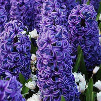 Гиацинт Blue Jacket (луковицы)