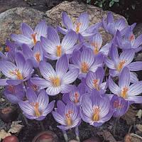 Крокус Speciosus 5 (луковицы)