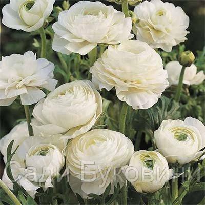 Ранункулюс Tomer White (клубни)5 шт