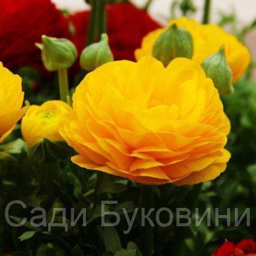 Ранункулюс (лютик) Aviv Yellow (клубни)5 шт