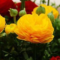 Ранункулюс (лютик) Aviv Yellow (клубни)5 шт, фото 1