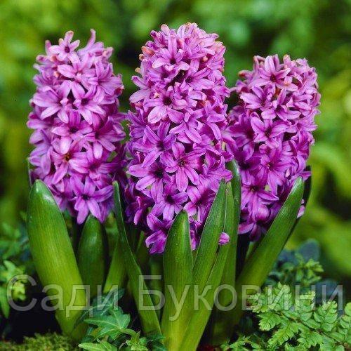 Гиацинт Purple Voice (луковицы)