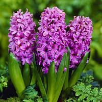 Гиацинт Purple Voice (луковицы), фото 1