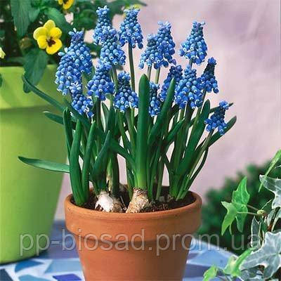 Мускари Blue Magic (луковицы) 5 шт
