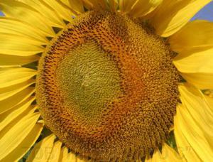 Насіння соняшника НXK12M010