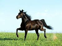 Применение Гамавита для повышения работоспособности лошадей