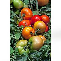 Трибека F1 семена томата дет. Hazera 1 000 семян
