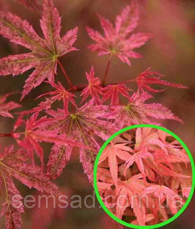 Клен пальмолистный Феникс \ Acer palmatum  'Phoenix' ( саженцы 2 года р9 )