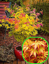 Клен пальмолистный Оранж Дрим \ Acer palmatum  Orange Dream  ( саженцы 2 года р9 ), фото 2