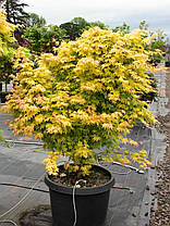 Клен пальмолистный Оранж Дрим \ Acer palmatum  Orange Dream  ( саженцы 2 года р9 ), фото 3