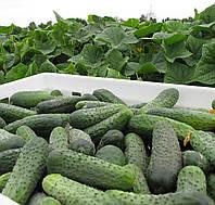 Семена огурца Спарта F1, Nunhems 1 000 семян | профессиональные