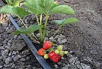 Основы отличной урожайности: нужен ли полив клубники осенью
