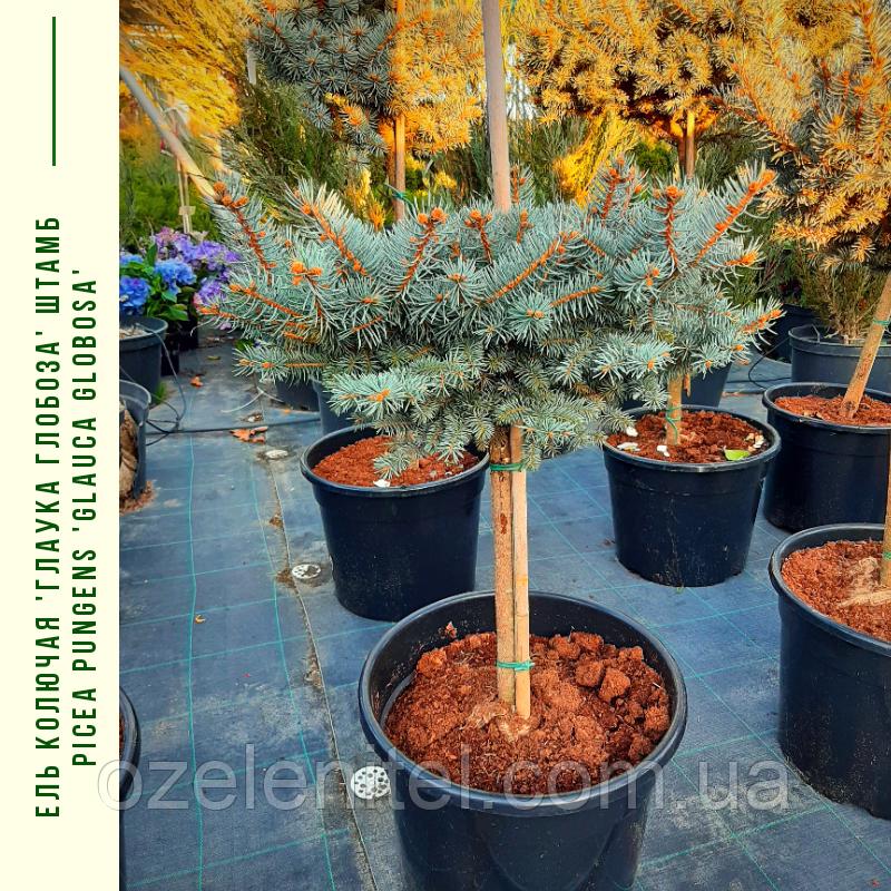 Ель колючая 'Глаука Глобоза' ШТАМБ Picea pungens'GlaucaGlobosa' h 60-80  см