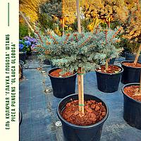 Ель колючая 'Глаука Глобоза' ШТАМБ Picea pungens'GlaucaGlobosa' h 60-80  см, фото 1