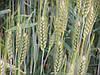 Озима пшениця Мідас