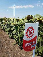 Семена подсолнечника Лимагрейн ЛГ 5631 КЛ (Limagrain)