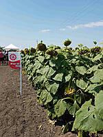 Семена подсолнечника Лимагрейн ЛГ 5661 КЛ (Limagrain)