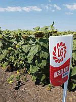"""Семена подсолнечника """"LG 5555 CLP"""" (Лимагрейн)(Limagrain)"""