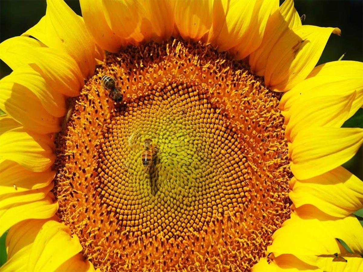 Семена подсолнечника Лимагрейн ЛГ 50270