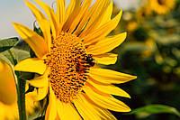 Семена подсолнечника лимагрейн лг 59580 (гранстар)