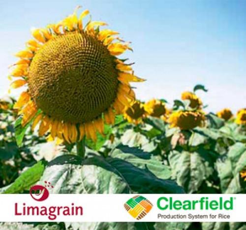 Семена подсолнечника лимагрейн лг 50635 клп (евролайтинг)