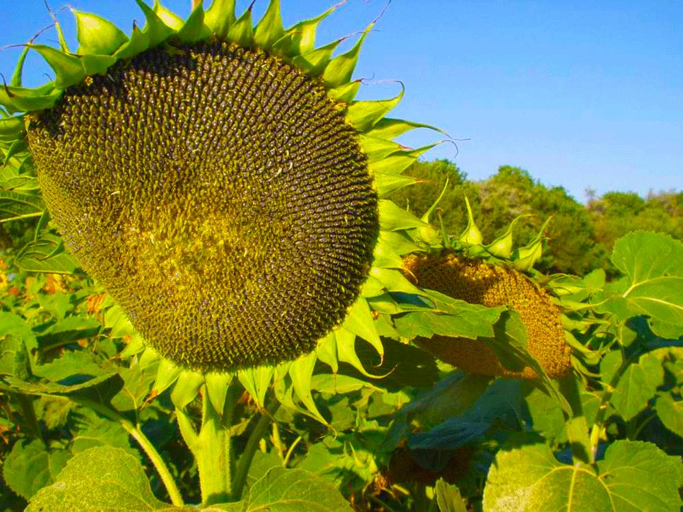 Семена подсолнечника Пионер P63LE113 (П63ЛЕ113)