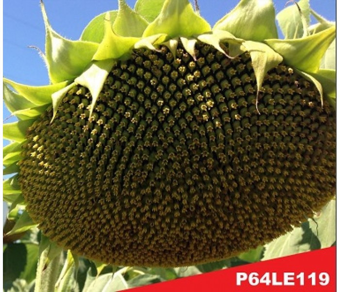 Семена подсолнечника П64ЛЕ119 (P64LE119) Пионер (Pioneer)