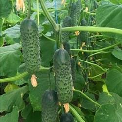 Профессиональные семена Огурца Амарок F1, профупаковка Bejo 1 000 семян, партенокарпический гибрид