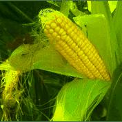 Купить Семена кукурузы Келтикус