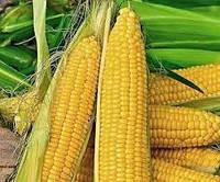 Купить Семена кукурузы Керберос