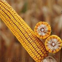Купить Семена кукурузы КВС Кумпан
