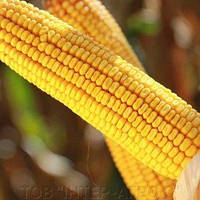 Купить Семена кукурузы Карпатис