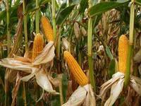 Купить Семена Кукурузы ЛГ31377