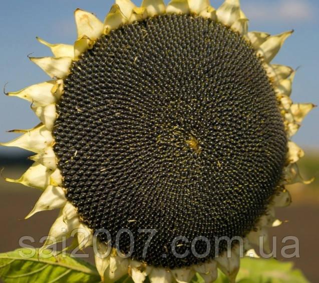 Семена подсолнечника Кастилия под Гранстар стойкий к заразихе A-F+