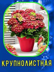 Гортензия садовая (крупнолистная, макрофилла)