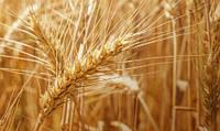 Озимая пшеница АРТЕМИДА (суперелита)  ВНИС самовывоз