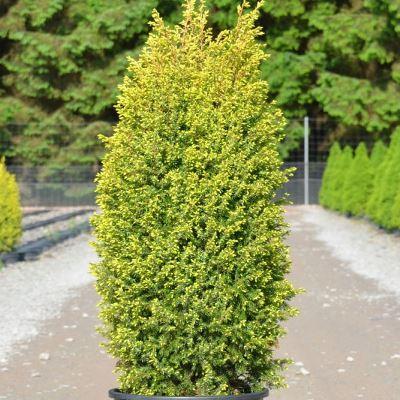 Саженцы Можжевельника обыкновенного Голд Кон (Juniperus communis Gold Cone)