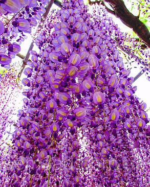 Глициния японская Домино \ Japanese wisteria 'Domino' ( саженцы 2 года  ), фото 2