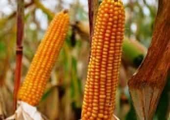 Купить Семена кукурузы Хемингуей