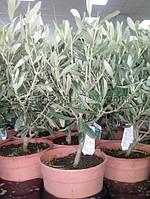 Оливка комнатная