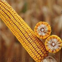 Купить Гібрид кукурудзи КВС Кашемір