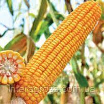 Купить насіння кукурудзи ЛГ 31272