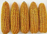 Купить насіння кукурудзи ЛГ 31388